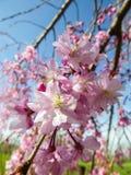 2 kwiaty czereśniowego Obrazy Royalty Free