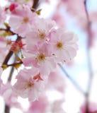 kwiaty czereśniowego Sakura fotografia royalty free