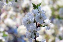 Kwiaty czere?niowi okwitni?cia na wiosna dnia tle zdjęcia royalty free