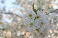 Kwiaty czere?niowi okwitni?cia na wiosna dnia tle zdjęcie royalty free