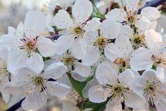 Kwiaty czere?niowi okwitni?cia na wiosna dnia tle zdjęcie stock