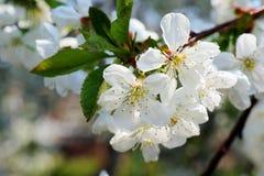 Kwiaty czere?niowi okwitni?cia na wiosna dnia tle obraz royalty free