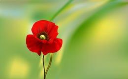 Kwiaty czerwony makowy zbliżenie na plamy tle Zdjęcia Stock