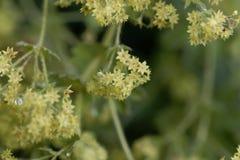 Kwiaty damy salopy Alchemilla glaucescens zdjęcia royalty free