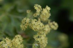 Kwiaty damy salopy Alchemilla glaucescens obraz royalty free