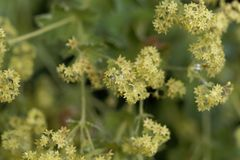 Kwiaty damy salopy Alchemilla glaucescens obraz stock
