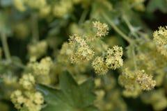 Kwiaty damy salopy Alchemilla glaucescens obrazy stock