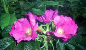 Kwiaty dogrose w ogródzie Zdjęcia Royalty Free