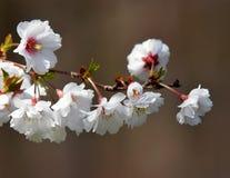 kwiaty drzewa Obrazy Stock