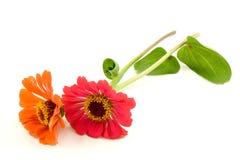 kwiaty dwa cyni Fotografia Royalty Free