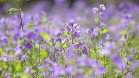 Kwiaty Fiołkowy Orychophragmus w Showa Kinen parku, Tokio, Japonia zbiory wideo