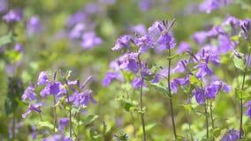 Kwiaty Fiołkowy Orychophragmus w Showa Kinen parku, Tokio, Japonia zbiory
