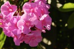 Kwiaty floks Zdjęcie Stock
