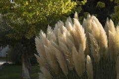 kwiaty fluffy white Fotografia Stock