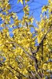 kwiaty forsycje Obrazy Royalty Free
