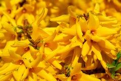 kwiaty forsycje Obrazy Stock