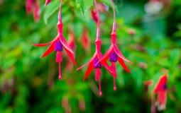 kwiaty fuksi Obrazy Royalty Free