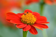 kwiaty fuksi Zdjęcia Royalty Free