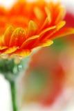 kwiaty gerbera zdjęcia royalty free