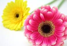 kwiaty gerbera Zdjęcia Stock