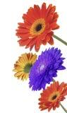 kwiaty gerbera Fotografia Royalty Free