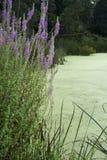 Kwiaty graniczy bagna zdjęcie royalty free