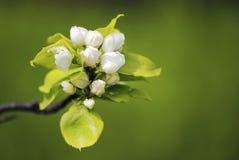 kwiaty gruszki Fotografia Royalty Free