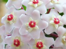 kwiaty Hoya Zdjęcia Stock