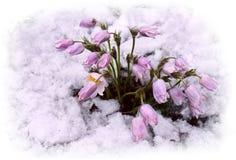 Kwiaty i śnieg obraz royalty free