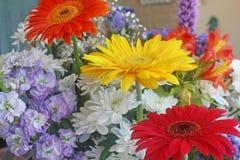 Kwiaty i Bergen stokrotki kolorów, czerwieni, koloru żółtego i pomarańcze, Obrazy Royalty Free