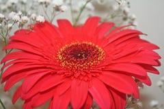 Kwiaty i kolory, piękna czerwona stokrotka Obraz Royalty Free
