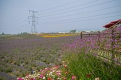 Kwiaty i lawendy pole w pogodnym lecie Obrazy Royalty Free