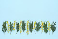 Kwiaty i liście mimoza w rzędzie na błękicie obraz royalty free