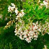 Kwiaty i liście akacja obrazy stock