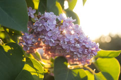 Kwiaty i liście bez przy zmierzchem w wiośnie Zdjęcia Royalty Free