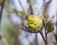 Kwiaty i liście kwitnąć czerwonego elderberry, Sambucus Racenosa na gałąź z bokeh tłem makro-, zdjęcie stock