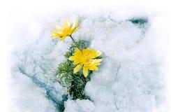 Kwiaty i śnieg Zdjęcie Stock
