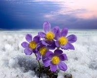 Kwiaty i śnieg Fotografia Royalty Free