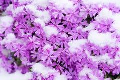 Kwiaty i śnieg Zdjęcia Royalty Free