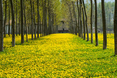 Kwiaty i oddechowe alergie Zdjęcie Stock