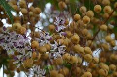 Kwiaty i owoc Melia azedarach obrazy royalty free