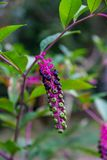 Kwiaty i owoc różni stopnie dojrzałość na jeden wiązce niewiadoma roślina w Sochi ogródzie botanicznym Rosja fotografia stock