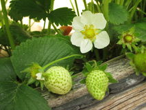 Kwiaty i owoc truskawka Obrazy Stock