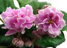 Kwiaty i pączki inkasowy Afrykańskich fiołków ` EK-Lyubasha ` Fotografia Stock