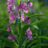 Kwiaty i wielcy półprzezroczyści liście Kwitnąć Sally Obraz Stock