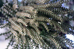 Kwiaty i ziarna Fishtail palma Zdjęcia Royalty Free