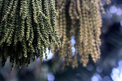 Kwiaty i ziarna Fishtail palma Fotografia Stock