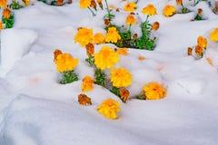 Kwiaty i zieleń liście zakrywający z pierwszy śniegiem w opóźnionej jesieni, krajobraz, obrazy stock