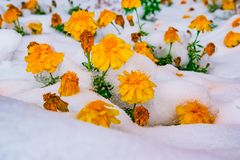 Kwiaty i zieleń liście zakrywający z pierwszy śniegiem w opóźnionej jesieni, krajobraz, zdjęcia royalty free