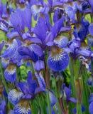 kwiaty iris purpury zdjęcia royalty free